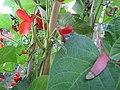 -2020-07-17 Runner bean flowers, Trimingham, Norfolk (2).JPG