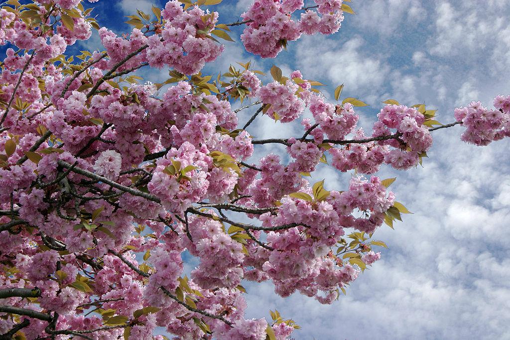 - Prunus serrulata 01 -.jpg