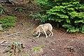 00 2626 Nationalpark Bayerischer Wald - Freigehege Wölfe.jpg
