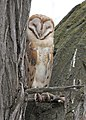 0174 sleepy barn owl munsel odfw (5806242792).jpg