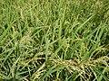 0201jfVentinilla Fields Nancamarinan Paniqui Camiling Tarlacfvf 12.JPG
