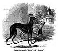 044. Italian Greyhound.JPG