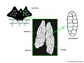04 03 50 fruiting body, ascus, ascospore, Myriangium sp., Myriangiales, Ascomycota (M. Piepenbring).png