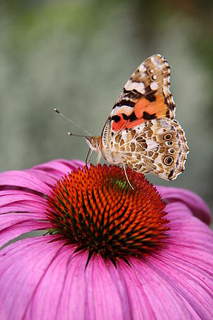 Vanessa cardui - Painted lady on a purple coneflower