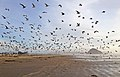 1000's of Gulls on Morro Strand State Beach at low tide with Morro Rock in background (6739432193).jpg