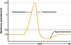Depolarization - Action potential in a neuron, showing depolarization and repolarization