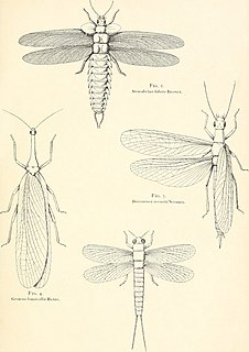 Palaeodictyoptera order of insects (fossil)