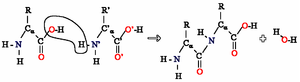 Polyamide -  The reaction of two amino acids. Many of these reactions produce long chain proteins