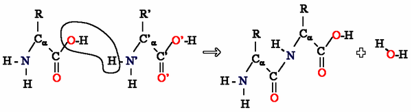 The condensation of two amino acids to form a peptide bond.
