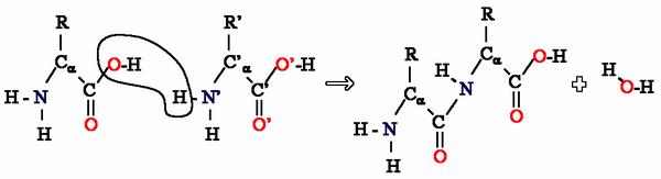 Exemplo de condensação de dois aminoácidos para formar uma ligação peptídica.