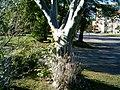 20060615 yponomeuta evonymella 013.jpg
