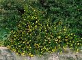2007-08-30Potentilla fruticosa04.jpg