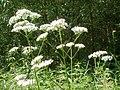 20120629Valeriana officinalis4.jpg