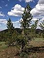 2013-07-12 15 56 01 Whitebark Pine just north of Copper Mountain.jpg