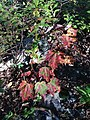 2014-08-25 17 57 43 Early fall coloration in Red Maple foliage along the Appalachian Trail about 9.3 miles northeast of the Delaware Water Gap in Delaware Water Gap National Recreation Area, New Jersey.JPG