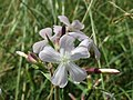 20140619Saponaria officinalis.jpg