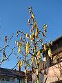 20141228Yucca gloriosa.jpg