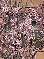 2015-03-25 13 56 53 Purple flowering plum blossoms along 9th Street near Railroad Street in Elko, Nevada.JPG