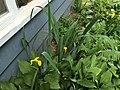 2015-05-18 13 05 44 Yellow Flag blooming along Terrace Boulevard in Ewing, New Jersey.jpg