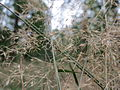 20150818Agrostis capillaris2.jpg