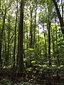 2016-07-20 14 28 36 Bald Cypress trees with knees at the Battle Creek Cypress Swamp in Calvert County, Maryland.jpg