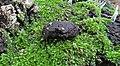 2016-09-15 Hymenoscyphus fructigenus (Bull.) Gray 674771.jpg