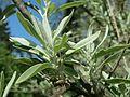 20160507Elaeagnus angustifolia2.jpg