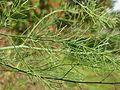20161023Asparagus officinalis1.jpg