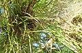 2018-01-17 Processionary pine caterpillar silk nest, Albufeira (1).JPG