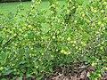 2018-06-01 (125) Ribes uva-crispa (gooseberries) at Bichlhäusl, Tiefgrabenrotte, Frankenfels, Austria.jpg