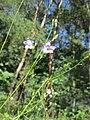 20180708Campanula rotundifolia1.jpg