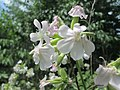 20190708Saponaria officinalis3.jpg