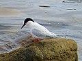 2020-07-18 Sterna dougallii, St Marys Island, Northumberland 01.jpg