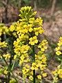 2021-04-12 17 41 14 Yellow mustard flowers along a walking path in the Franklin Farm section of Oak Hill, Fairfax County, Virginia.jpg