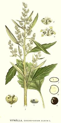 351 Chenopodium album.jpg
