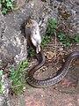 3 Aesculapian Snake in Tuscany Italy. 03.jpg