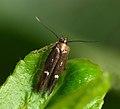 40.011 BF880 Mompha langiella (5576049719).jpg