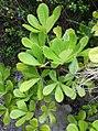 4 Cussonia thyrsiflora - Cape Coast Cabbage Tree 3.jpg