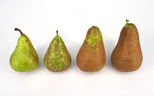 Russeting - Four pears featuring various degrees of russetting