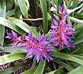 AMAZING-COLORED FLOWER (2-4-2016) fairchild tropical gardens, miami-dade co, fl -01 (24876459089).jpg