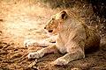 A Female Lion (137135031).jpeg