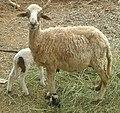 A Sheep.jpg