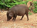 A Wild Sow doing what she does best - panoramio.jpg
