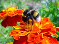 A bumble-bee on a flower.jpg