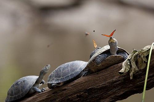 Dos mariposas Julia alimentándose de las lágrimas de las tortugas, en Ecuador.