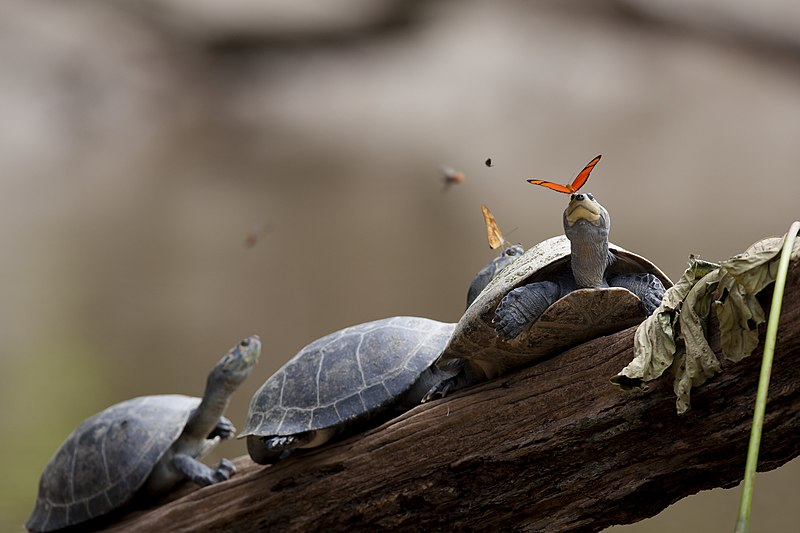 Archivo:A butterfly feeding on the tears of a turtle in Ecuador.jpg