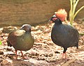 A pair of crested Partridge.jpg