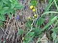 A rayless, native hawkweed. (d888dd4c24a64e1ebb98b69428e41aec).JPG