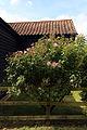 A rose bush in Great Waltham, Essex, England.JPG