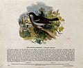 A sparrow sitting on a branch near a farmhouse. Coloured woo Wellcome V0020518.jpg